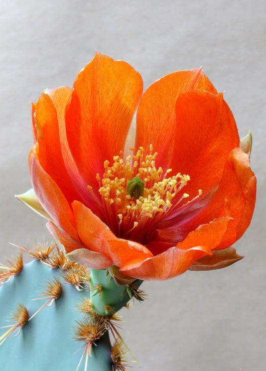 prickly-pear-seed-oil