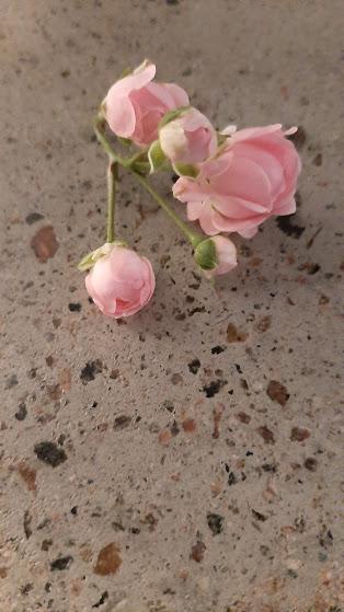 suojaava-ruusuvoide