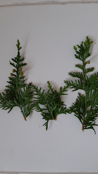 how-to-use-thuja-in-cosmetics